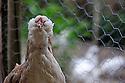 09/05/08 - MARSAC EN LIVRADOIS - PUY DE DOME - FRANCE - Elevage avicole de Alain PERRIN. Poule FAVEROLLE foncee - Photo Jerome CHABANNE