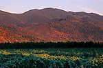 Sunset light on vineyard below Mount Konocti, near Kelseyville, Lake County, California