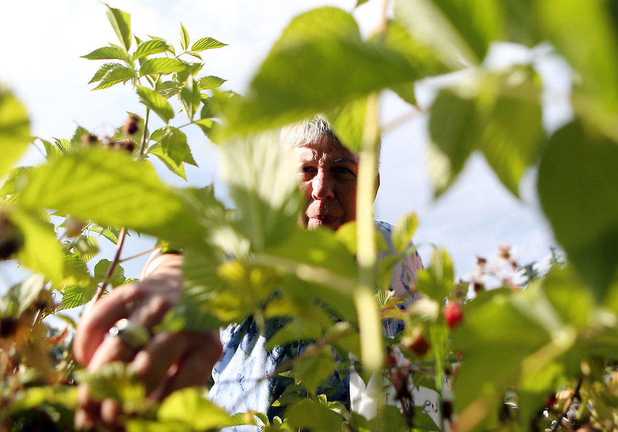 Miriam Bates, a volunteer for the group Urban Abundance picks raspberries at a residence along the banks of Vancouver Lake Thursday June 22, 2016. The group gleans produce that would otherwise spoil and donates part of the harvest to local food banks. (Photo by Natalie Behring for the Columbian)