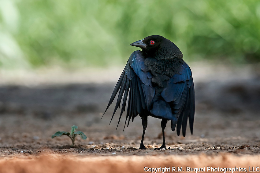 Bronzed Cowbird in Courtship Display