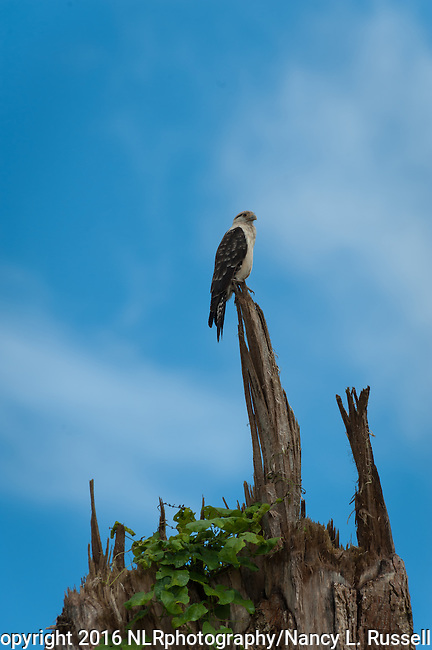 The Caracara is a predator in the Amazon region in Peru