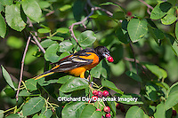 01611-09713 Baltimore Oriole (Icterus galbula) male eating serviceberry (Amelanchier canadensis)  Marion Co., IL