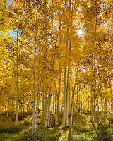 Boulder Mountain, Dixie National Forest, Utah: Sun coming through the golden leaves of an aspen grove