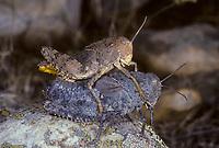 Crau-Steinschrecke, Crau-Schrecke, Crau-Heuschrecke, Paarung, Kopulation, Kopula, Prionotropis hystrix rhodanica, Prionotropis rhodania, , European Giant Steppe Grasshopper, Crau Plain Grasshopper, pairing