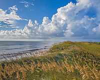 Cape Hatteras National Seashore, North Carolina<br /> Seaoats (Uniola paniculata) on dunes of Hatteras Island, Cape Hatteras