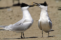 Pair of sandwich terns in courtship display