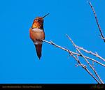 Allen's Hummingbird Male, Selasphorus sasin, Sepulveda Wildlife Refuge, Southern California