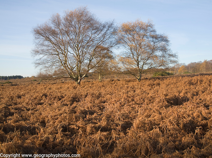 Silver birch trees and bracken in autumn colour on Westleton Heath heathland near Dunwich, Suffolk, England
