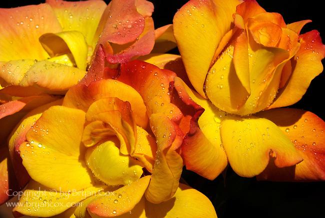 Roses, Portland Rose Garden, Oregon