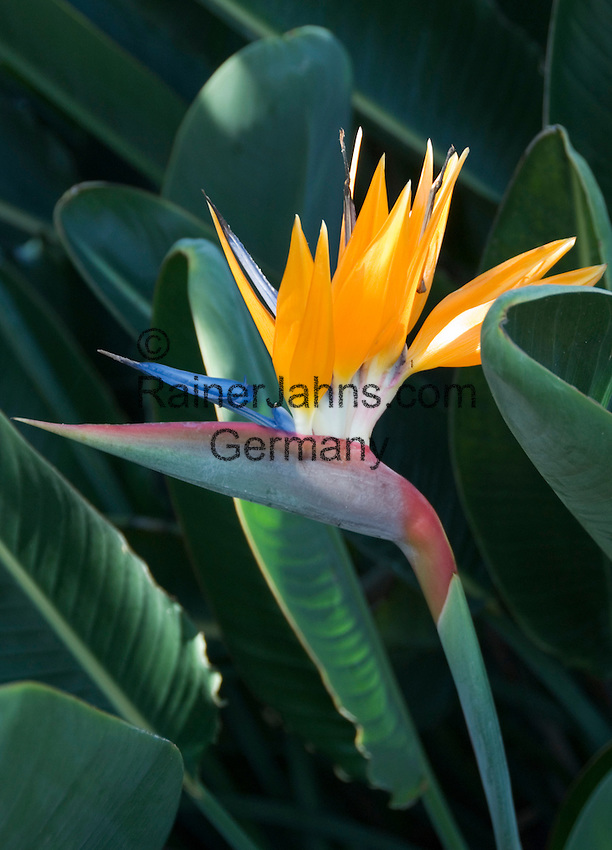 Spain, Canary Islands, La Palma, bird of paradise flower (Strelitzia reginae)
