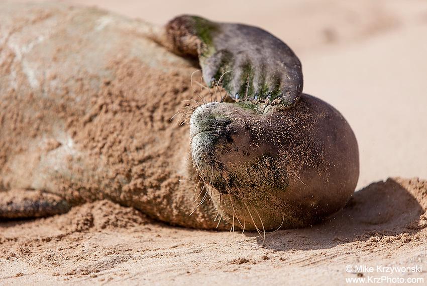 Hawaiian monk seal sleeping on the beach, Gillin's Beach, south shore of Kauai