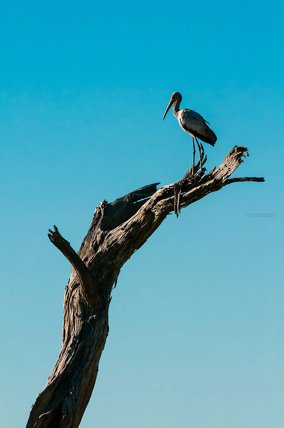 A Yellow Billed Stork standing on branch, Kwando Concession, Linyanti Marshes, Botswana. Kwando Concession, Linyanti Marshes, Botswana.