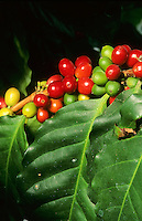 Kaffee, Kaffeestrauch, Kaffee-Strauch, Arabica-Kaffee, Bergkaffee, Früchte, Coffea arabica, Arabian Coffee