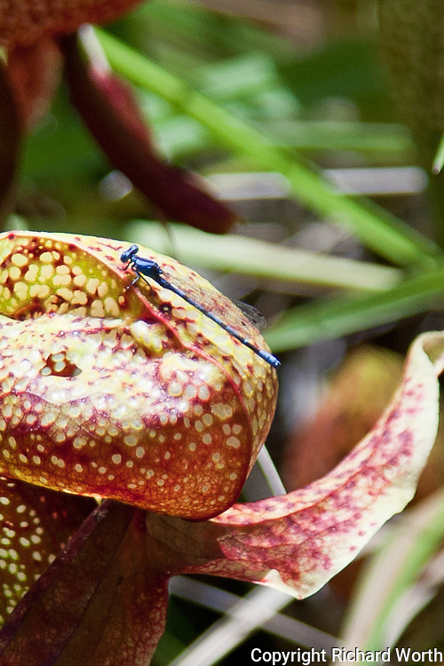 A damselfly takes a break on the head of a cobra lily at the Darlngtonia Bog in this cropped, close-up view.
