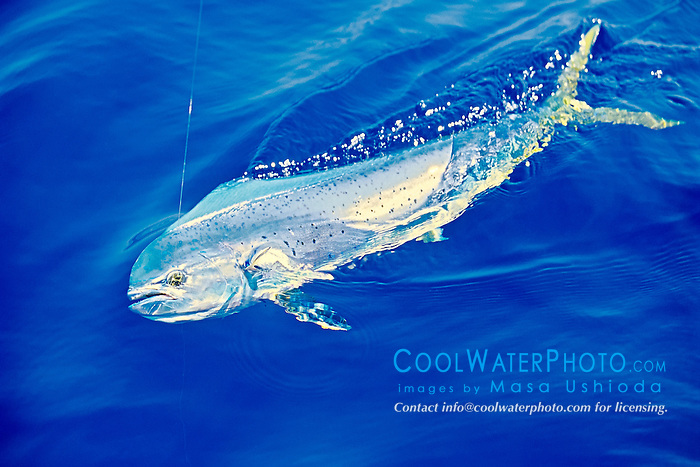 mahi mahi, dolphin fish, or dorado, Coryphaena hippurus, cow, Kona Coast, Big Island, Hawaii, USA, Pacific Ocean