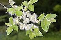Goat Willow - Salix capraea - in fruit