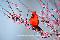 01530-20406 Northern Cardinal (Cardinalis cardinalis) male in Eastern Redbud (Cercis canadensis) in spring, Marion Co., IL
