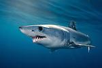 Shortfin Mako Shark, Isurus oxyrhynchus, Long Beach, Southern California, Eastern Pacific.