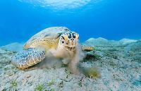 green sea turtle, Chelonia mydas, feeding, endangered species, Marsa Mubarak, Marsa Alam, Egypt, Red Sea, Indian Ocean