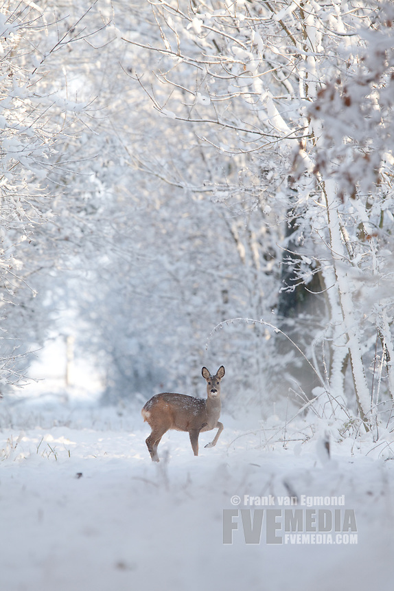 Roe Deer (Capreolus Capreolus) in a forest near Batenburg, The Netherlands.