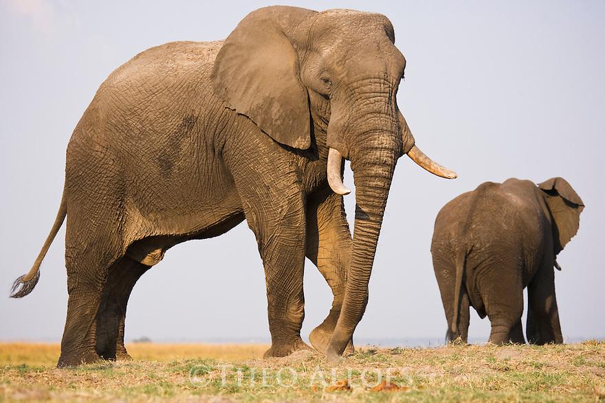 Elephant bulls feeding on dry grass on Chobe River flood plain, Botswana