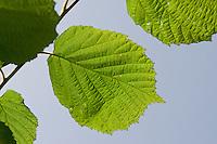 Gewöhnliche Hasel, Haselnuß, Haselnuss, Blatt, Blätter vor blauem Himmel, Corylus avellana, Cob, Hazel