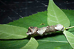 Giant Swallowtail Butterfly larva, Papilio cresphontes
