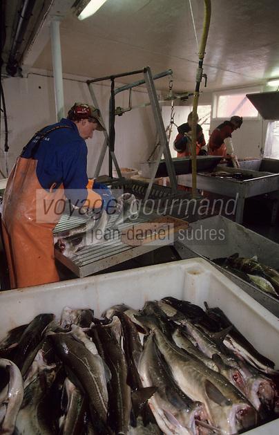 Europe/Norvège/Iles Lofoten/Ballstad : Pêcherie - Découpe du skrei-cabillaud