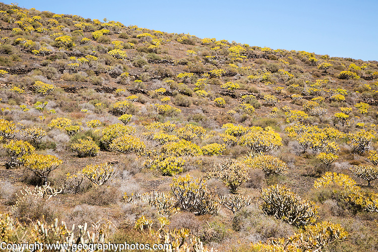 Euphorbia plants growing on lava flows Malpais de Corona, Lanzarote, Canary Islands, Spain