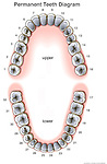 The thirty-two (32) teeth making up the  permanent dentition found in adults, including the upper and lower third molars, or wisdom teeth, which are commonly removed surgically by dentists and oral surgeons.