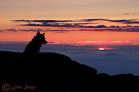 Red foxes were frequent visitors to the summit of Mount Washington, where I worked at the Observatory for many years.  This particular evening, the fox was below the summit builing, and some careful stalking put both of us in position right as the last light fell below the horizon.  Though it looks as though the fox is watching sunset, it is actually staring at me, cautiously watching my every move.