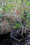 Tillandsia, a common airplant in the Everglades, grows on other plants without taking valuable nutrients from its host.