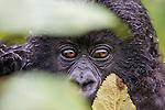 Gorilla baby bahing green leafs. Rwanda-Volcano National Park. Wildlife | Gorillababy som titter fram mellom noen grønne blad. Volcano National Park, Rwanda. Ville dyr.