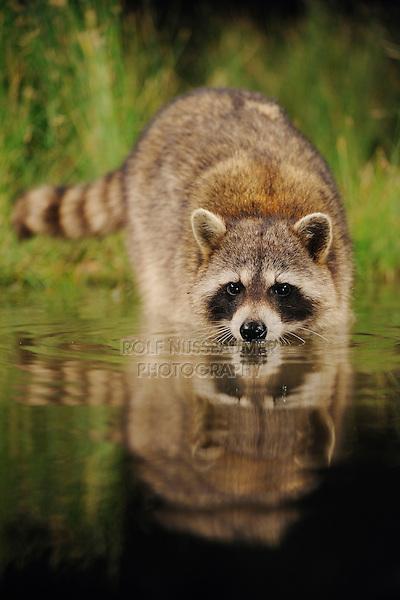 Northern Raccoon (Procyon lotor), adult at night drinking from wetland lake, Fennessey Ranch, Refugio, Coastal Bend, Texas Coast, USA