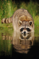 Northern Raccoon (Procyon lotor), adult at night drinking from wetland lake, Fennessey Ranch, Refugio, Coastal Bend, Texas Coast, USA