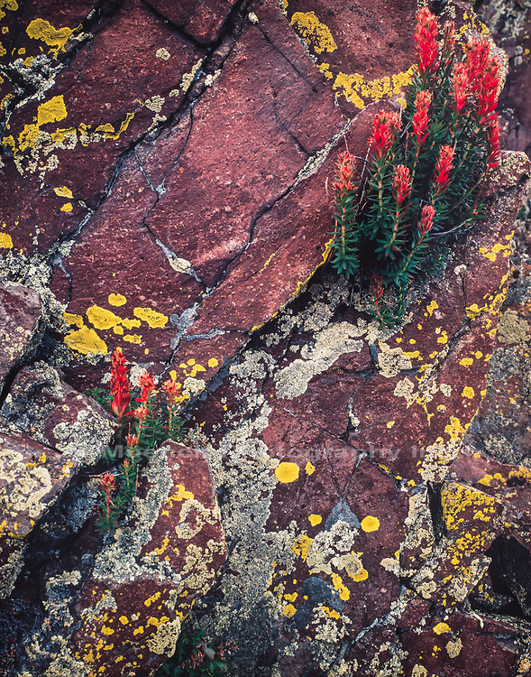 Wildflowers,Volanic rock wall with lichen,White Mountains,Arizona