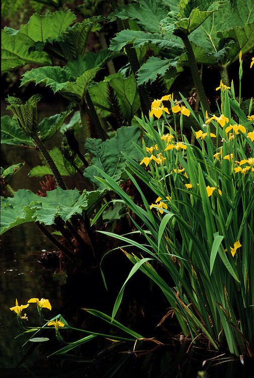Iris pseudacorus (yellow flag) and Gunnera manicata in Heather Pond at Van Dusen Botanical Garden, Vancouver, BC.