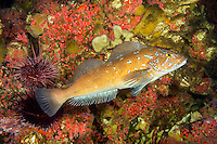 TA70611-D. Kelp Greenling (Hexagrammos decagrammus), male. British Columbia, Canada, Pacific Ocean.<br /> Photo Copyright &copy; Brandon Cole. All rights reserved worldwide.  www.brandoncole.com