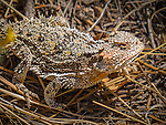 "Horned Lizard (""Horny Toad"") near Mount Elden, Flagstaff, Arizona"