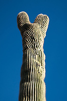 A crested or cristate saguaro cactus stands against blue sky in the Cactus Forest area of Saguaro National Park (Rincon Mountain District) near Tucson, Arizona, USA. The crested appearance is a natural result of fasciation, and is relatively rare in saguaro cacti.