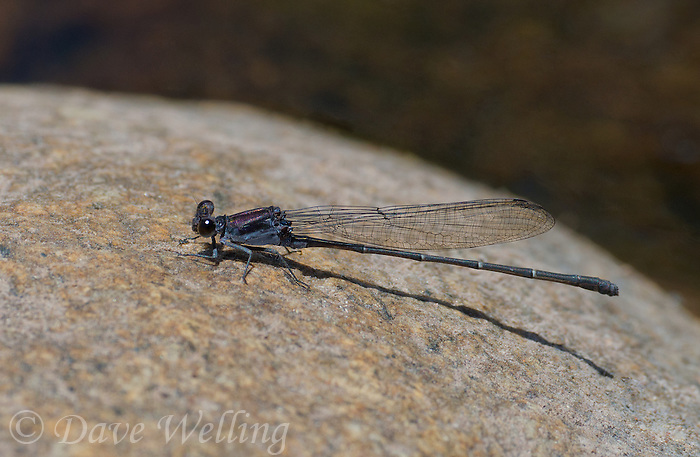 338680001 a wild male tezpi dancer argia tezpi perches on a rock in a small stream in sabino canyon pinal county arizona