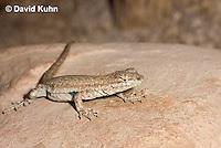0613-1002  Side-blotched Lizard, Uta stansburiana (syn. Uta antiqua or Uta stellata)  © David Kuhn/Dwight Kuhn Photography