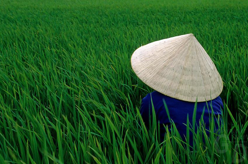 Women rice farmer in a rice rice field in the Mekong Delta, Vietnam