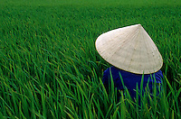 Women rice farmer in a rice rice field in the Mekong Delta, Vietnam