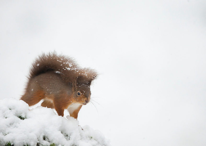 red squirrel in snow scottish lowlands images mark sisson