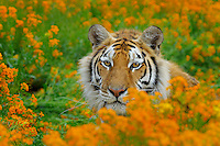 Bengal Tiger (Panthera tigris), Endangered Species