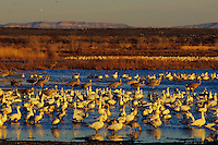 Snow geese (Chen caerulescens) and sandhill cranes on pond, evening, Bosque del Apache, N.M., February.