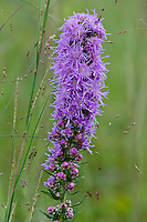 A portrait of a blooming Dense Blazing Star (Liatris spicata) was taken at the Indiana Dunes National Lakeshore's West Beach Unit were the plant grows in profusion and blooms in late summer.