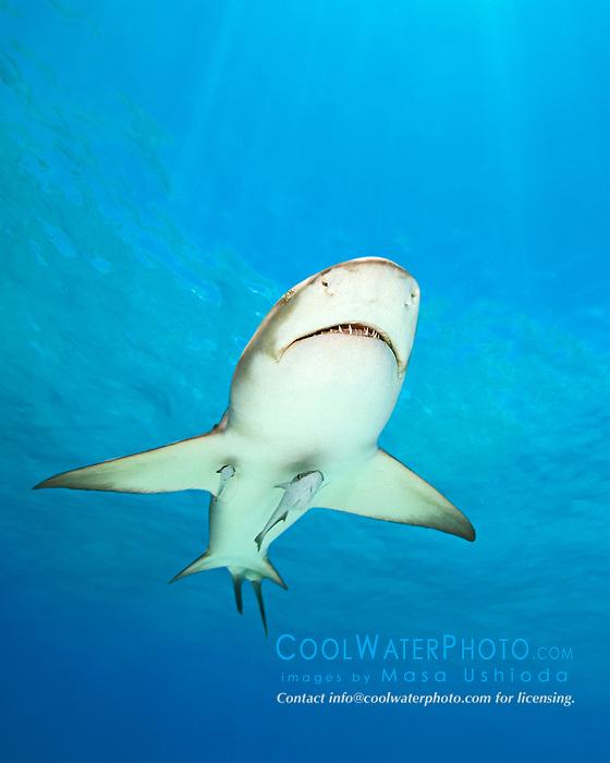 Lemon Shark, Negaprion brevirostris, with sharksuckers, Echeneis naucrates, West End, Grand Bahama, Bahamas, Atlantic Ocean