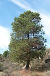 Pine Tree, Pinus sp., near El Santuario, Sierra Morena, Andalucia, Spain